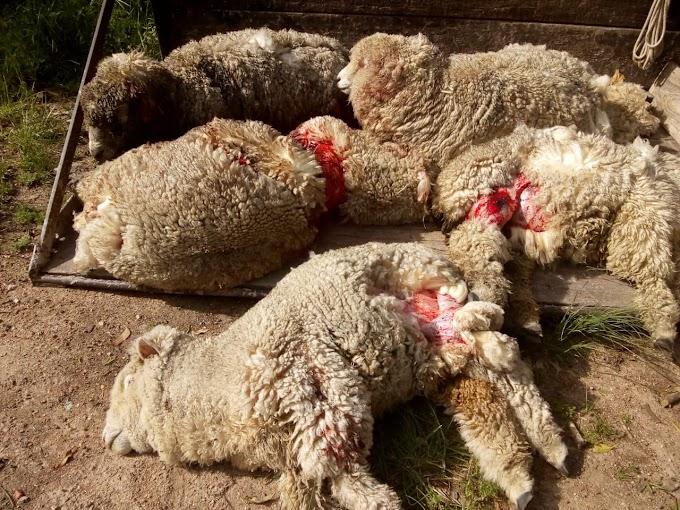 Ataque de cães mata e fere ovelhas no interior de Dom Pedrito