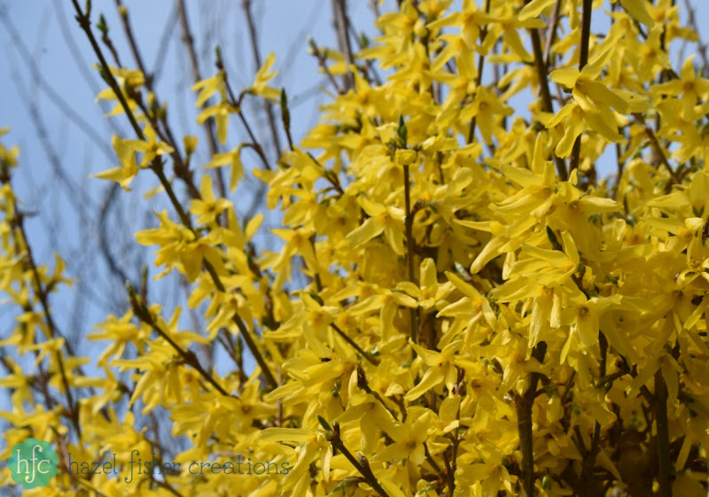Things I Love About Spring, forsythia flower -hazelfishercreations