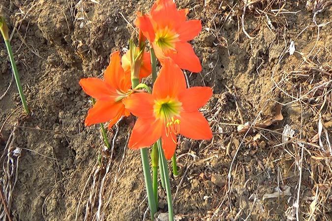 Dlium Barbados lily (Hippeastrum puniceum)