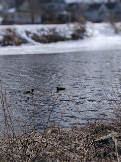 Ducks In Wentworth Park, Cape Breton Island