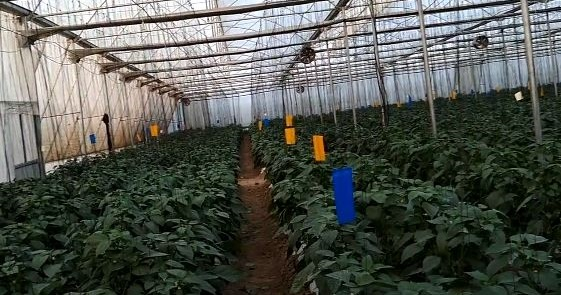 capsicum production in green house