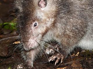 Pestisida Alami Untuk Hama Tikus