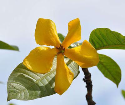 ดอกคำมอกหลวง (ผ่าด้าม) ไม้ดอกหอมแรง