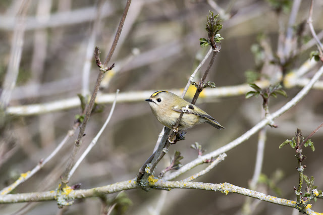 Tiny Gem - Goldcrest
