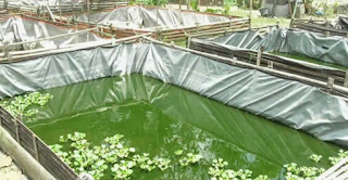 Fermentasi Air Kolam Lele Sebelum Tebar Benih