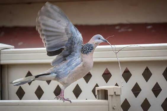 Cara Perawatan Burung Perkutut Lokal