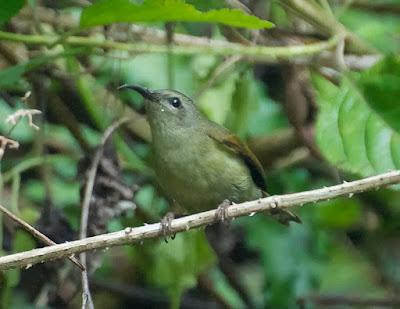 Black-throated Sunbird (Aerhopyga saturata)