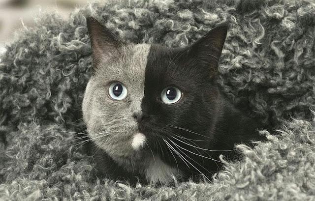 Double Face cat 3