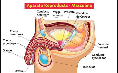 funciones de la prostata vesicula seminal y epididimo