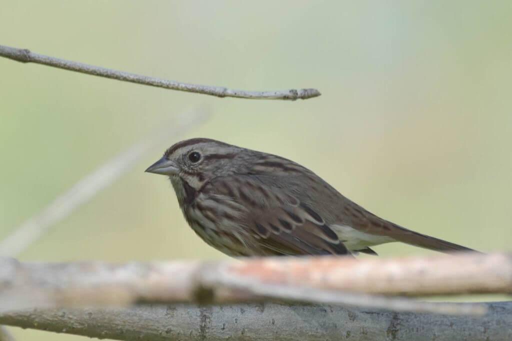 The Song Sparrow (Melospiza melodia)