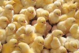 Daftar Harga Bibit Ayam Potong Juni 2019