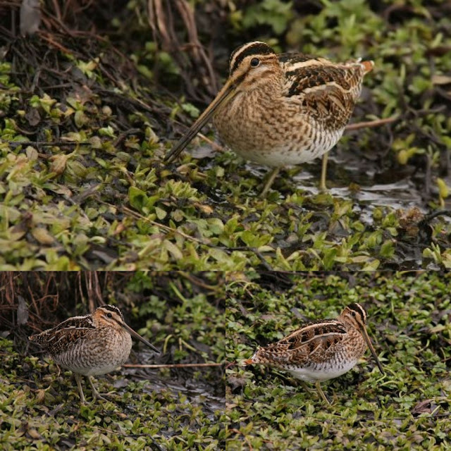 Comparison of Wilson's and Common Snipe in Newfoudland, 2011