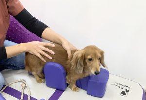 tratamento de cães cadeirantes