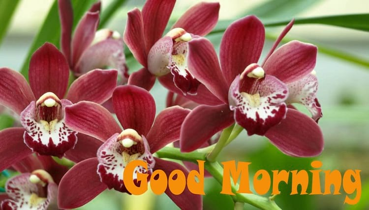 Good Morning Blessings with Cymbidium Orchids