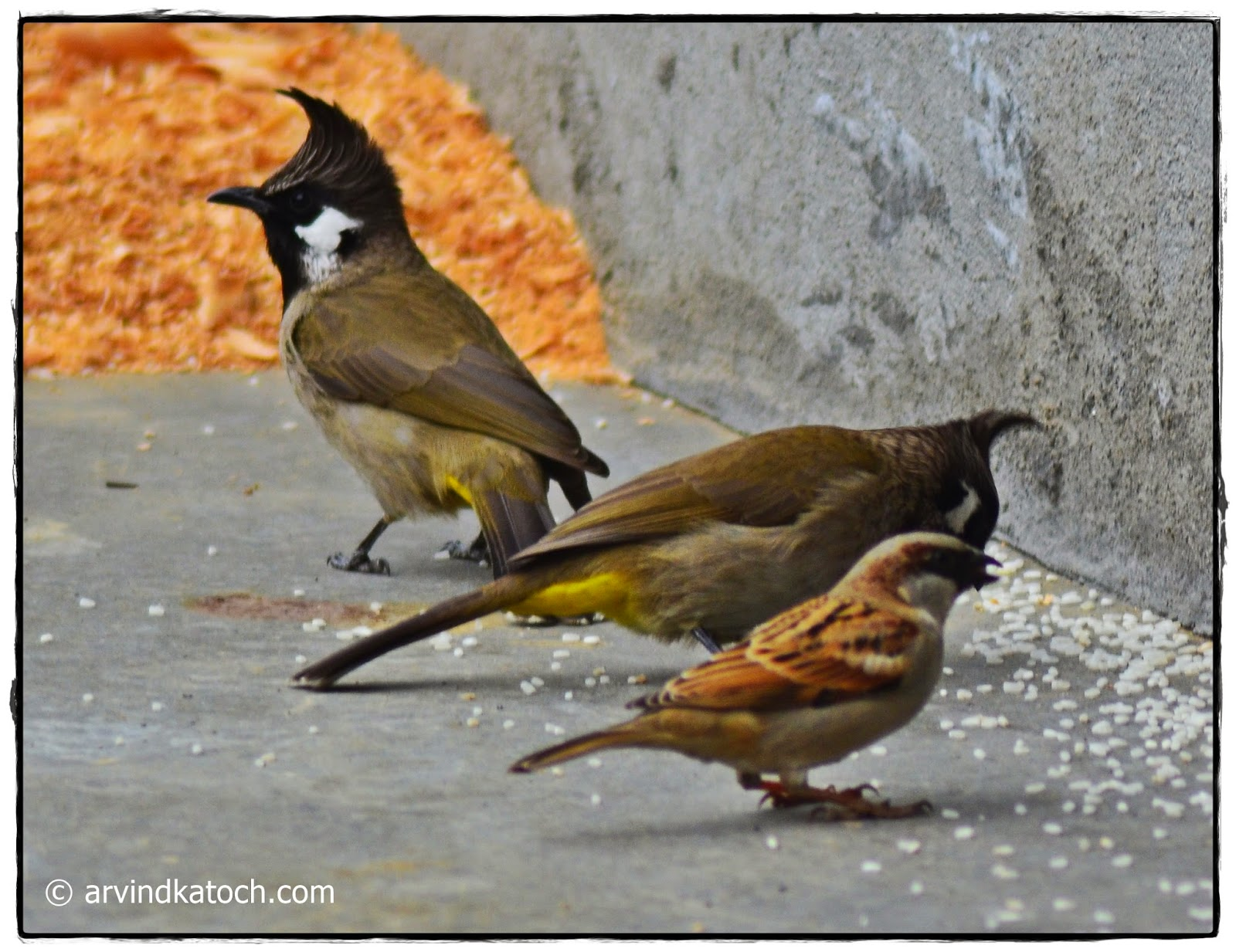Himalayan Bulbul, sparrow