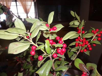 κλαδί Χριστουγεννιάτικου φυτου