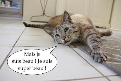 Beau chat typé siamois, Fiv +, Felv +