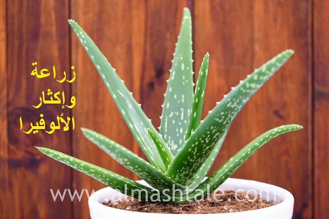 زراعة وإكثار نبات الألوفيرا Aloe Vera
