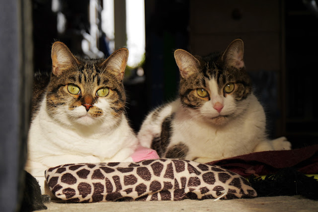 Two tabby and white cats lay side by side