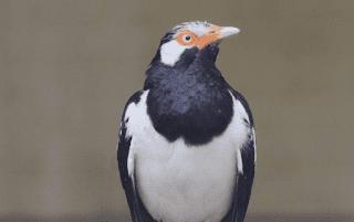 Harga Burung Jalak Suren Malaysia