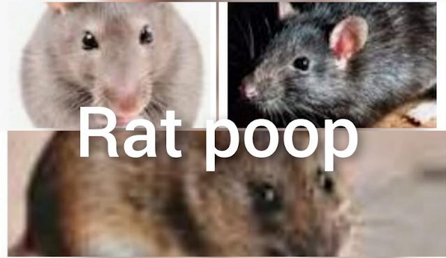rat poop_ 6 bad effects of disease on humans