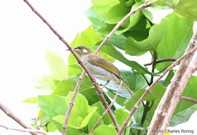 birding in Waigeo island of Raja Ampat