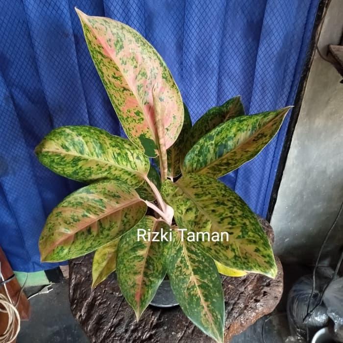 Tukang Taman Minimalis Jual Aglonema Big Roy Aglaonema Aglaoenema Dewasa House Plants Tanaman Koleksi