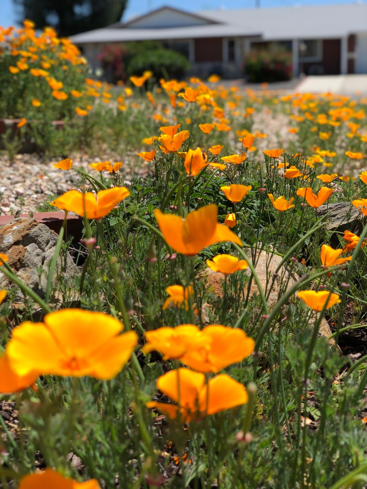 Poppies In Sun City Represent The Beauty Of Spring Menifee 24 7