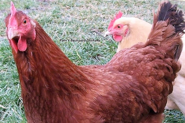 Why do roosters crow? Here are five top chicken questions along with the answers.