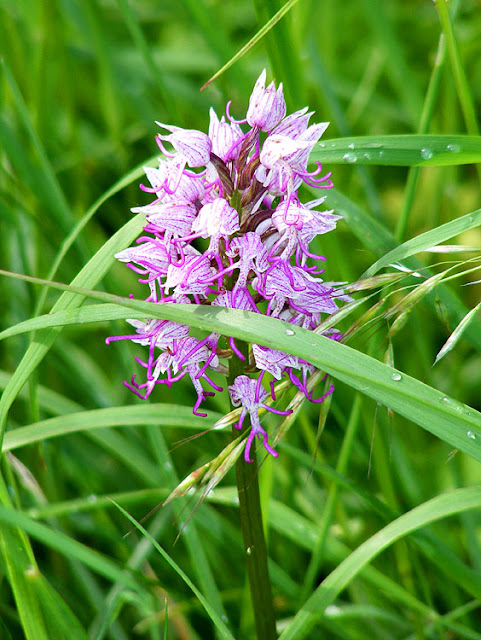 Monkey Orchid Orchis simia.  Indre et Loire, France. Photographed by Susan Walter. Tour the Loire Valley with a classic car and a private guide.