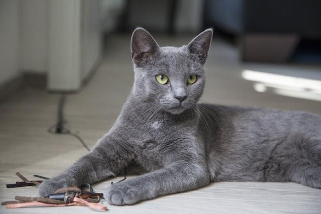Gato llevaba una doble vida: tenía dos casas, dos nombres y dos dueños
