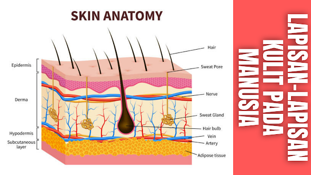 "Lapisan-Lapisan Kulit Pada Manusia Kulit terdiri dari tiga lapisan utama yaitu epidermis, dermis, dan jaringan subkutan.  Epidermis Epidermis merupakan jaringan terluar yang berhubungan langsung dengan lingkungan dibentuk oleh susunan sel yang disebut keratinosit, yang fungsi utama sel tersebut adalah mensintesis keratin yang merupakan protein filament, berfungsi sebagai proteksi. Keratinosit berperan dalam fungsi imunitas kulit, komunikasi, interaksi, dan regulasi pada kolaborasi sistem sel sebagai respon imun. Keratinosit mensekresi sitokin dan mediator-mediator inflamasi. Keratinosit juga dapat mengekspresi molekul- molekul seperti ICAM-1 dan MHC-II pada permukaan sel, yang menunjukan bahwa keratinosit memiliki respon aktif terhadap sinyal efektor imun. Pada epidermis terdapat tiga tipe sel selain keratinosit, yaitu : melanosit yang memproduksi pigmen, sel Langerhans, dan sel Merkel.  Epidermis ini terdiri dari lapisan basal (stratum basale), lapisan malphigi (stratum spinosum), lapisan grand (stratum granulosum), stratum lucidum dan lapisan tanduk (stratum corneum).    Dermis Dermis merupakan jaringan ikat yang menyokong epidermis dan berikatan dengan jaringan subkutan. Ketebalan dermis bervariasi tergantung dari regio tubuh, dan ketebalan maksimum mencapai 4 mm pada punggung. Komponen penting pada dermis adalah kolagen. Kolagen merupakan protein struktur utama di seluruh tubuh, dapat ditemukan di tendon, ligament, dan tulang.    Lapisan Subkutan Terletak dibawah dermis, memiliki lobul sel lemak yang dipisahkan oleh septum fibrous yang mengandung kolagen dan pembuluh darah yang besar. Kolagen pada septum tersebut bersatu dengan  kolagen  pada  lapisan dermis.    Nah itu dia bahasan dari lapisan-lapisan kulit pada manusia, melalui bahasan di atas bisa diketahui mengenai lapisan-lapisan kulit pada manusia. Mungkin hanya itu yang bisa disampaikan di dalam artikel ini, mohon maaf bila terjadi kesalahan di dalam penulisan, dan terimakasih telah membaca artikel ini.""G"