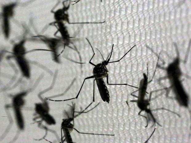 ceara-tem-41-municipios-com-alta-infestacao-do-Aedes-aegypti