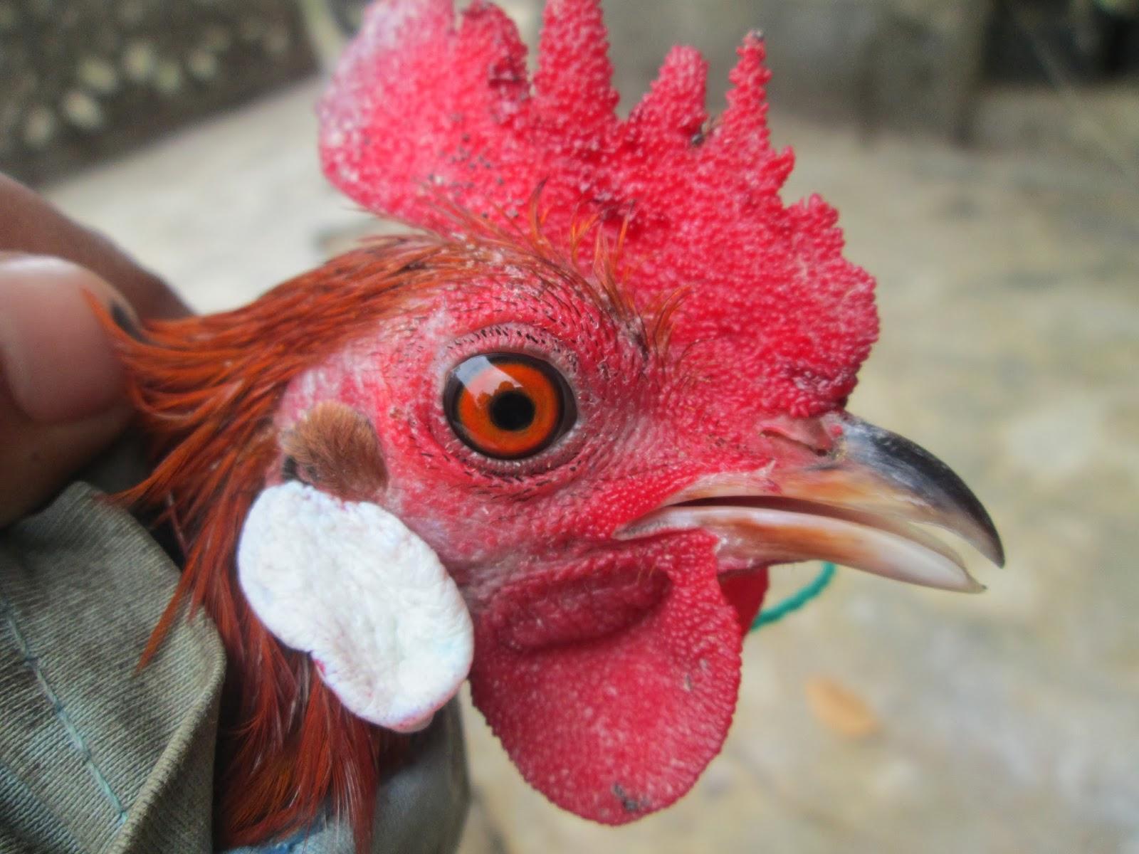 Gambar Ayam Hutan Asli Uniaga Aviary Merah Malaysia