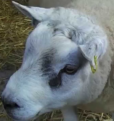 Beltex Sheep Facts, Origin, Meat & Wool Quality, Lambing Problems