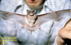 Dwarf bonneted Bat