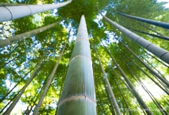Crecimiento del bambú japonés