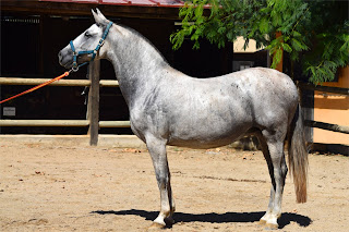 A dappled grey horse standing side on in a outdoor riding school