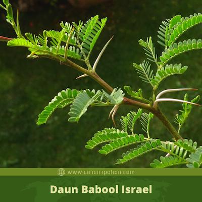 Ciri Ciri Daun Babool Israel