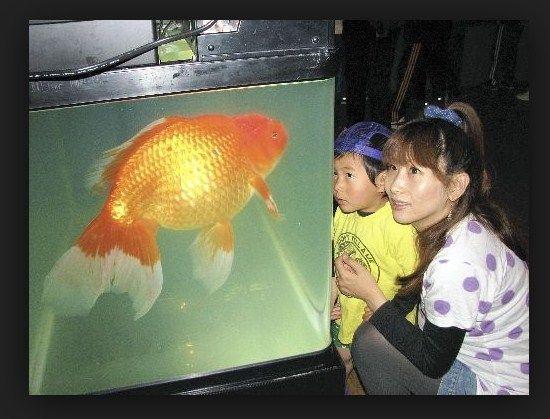 Makanan Burayak Untuk Semua Jenis Ikan Hias