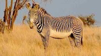 grevy zebra_Equus grevyi pictures