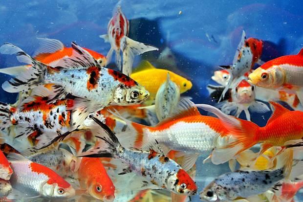 Peluang Bisnis Usaha Ikan Hias Dengan Analisa Lengkap