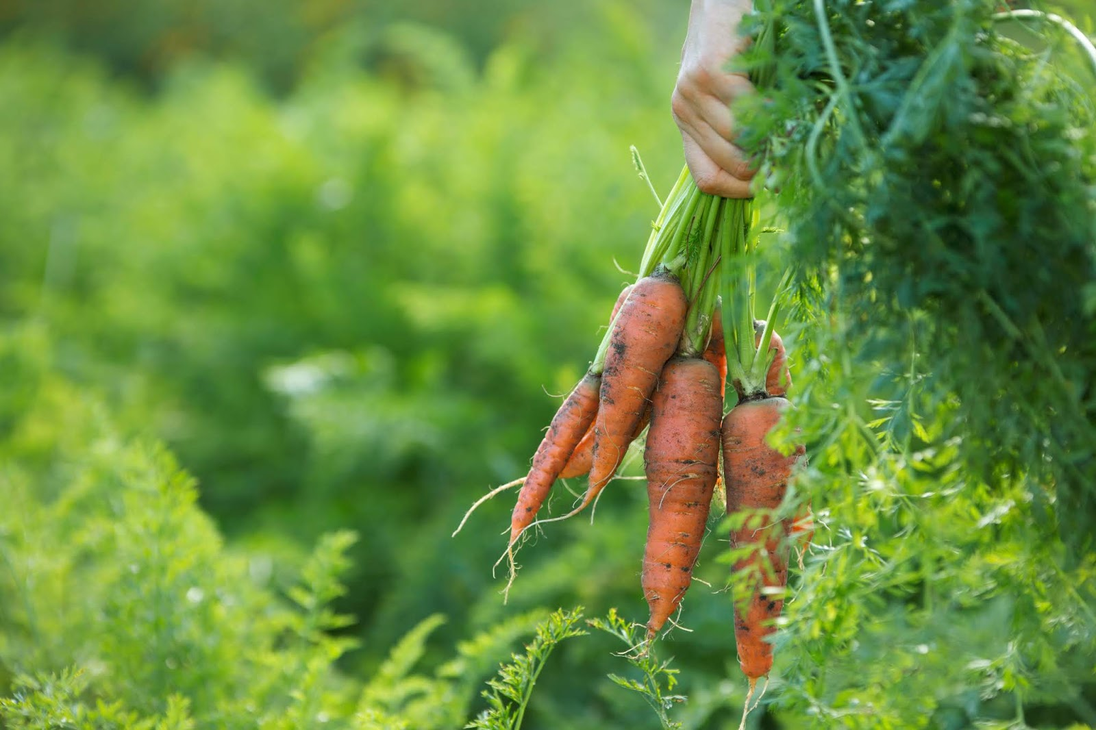 carrots vegetable gardening