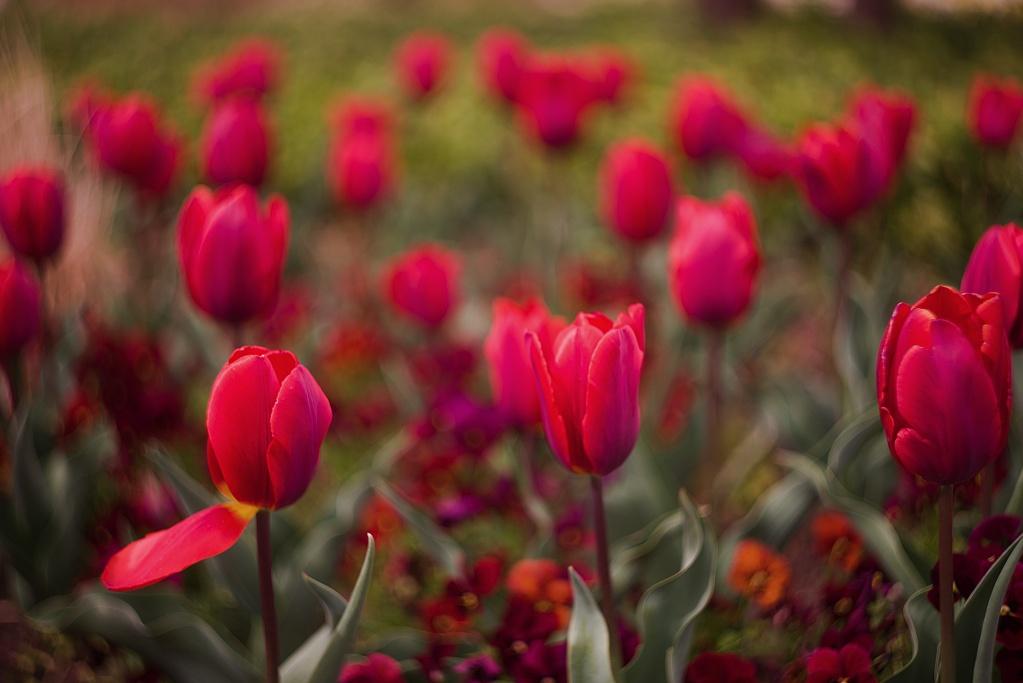 #244 Helios-44 f2 58mm - Tulpen