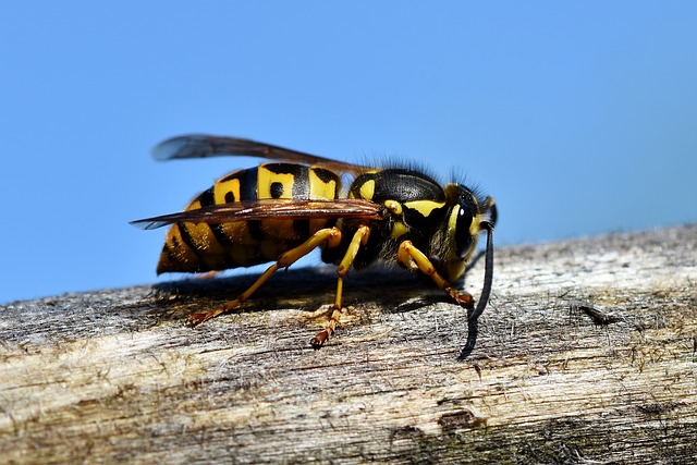 Pertolongan pertama ketika terkena sengatan lebah untuk menghindari keracunan