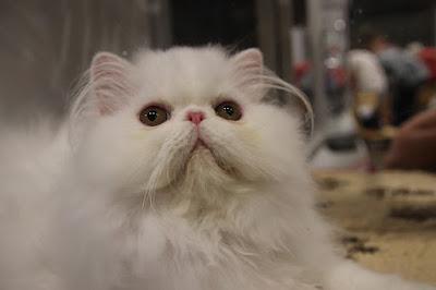 Cara Merawat Kucing Persia Medium