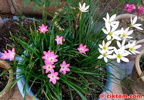 Pokok bunga bawang pink dan putih