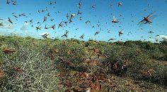 Insect desert locusts entering Asia simulation