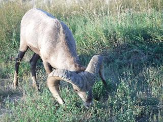 a closeup shot of a bighorn sheep eating grass in Badlands National Park in South Dakota