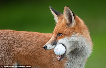 The Fox That Plays Golfs